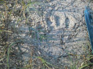 Sasquatch juvenile print